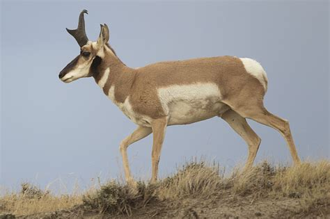 Pronghorn Populations Struggling in Face of Human