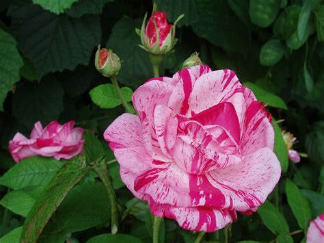 Decipher Popular Roses by Appearance and Learn How to