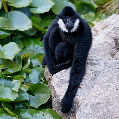 White-cheeked Gibbon Facts, Distribution, Adaptations