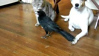 Crow Feeds A Cat And A Dog