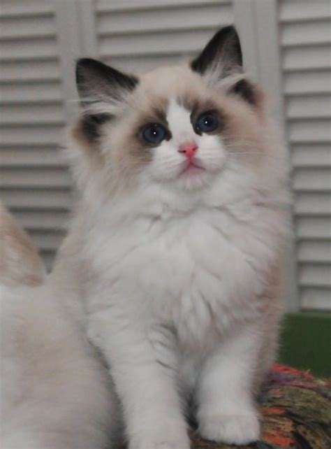 Seal Bicolor-I want to pick this cat up right now
