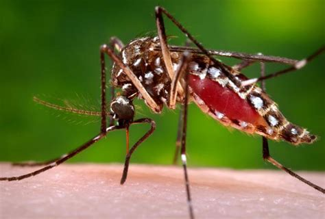 Dengue | Disease or Condition of the Week | CDC