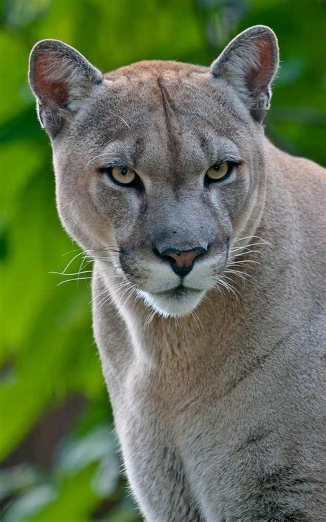 153 best images about Puma tier on Pinterest | Cats